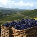 Al via la vendemmia 2016 in Italia, si prospetta un aumento del 5%