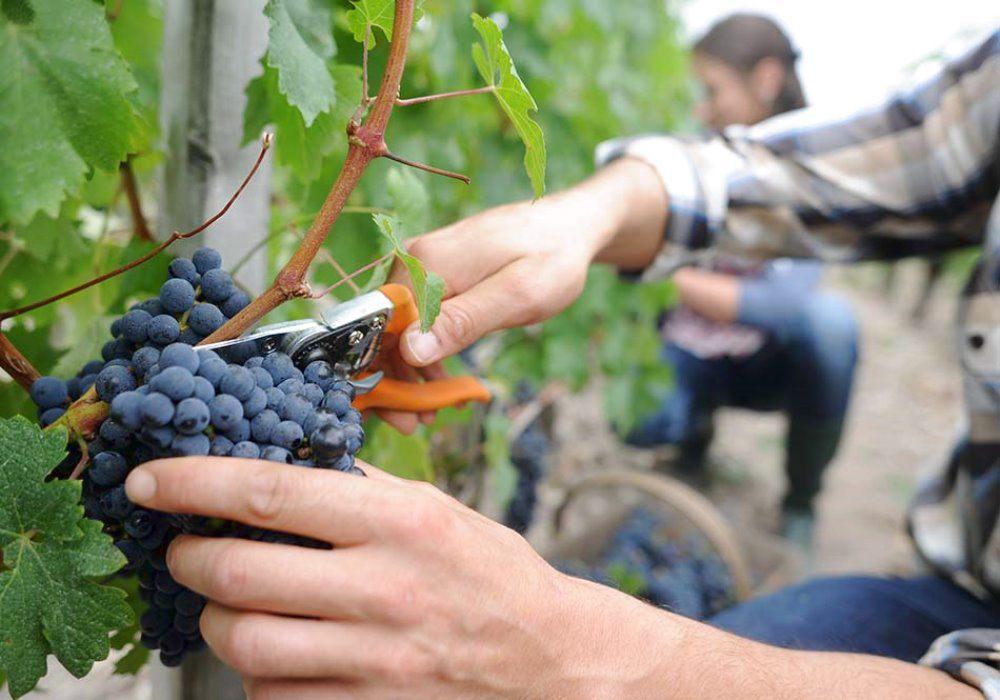 Inizio vendemmia: è la prima senza voucher nati 10 anni fa proprio per raccolta delle uve