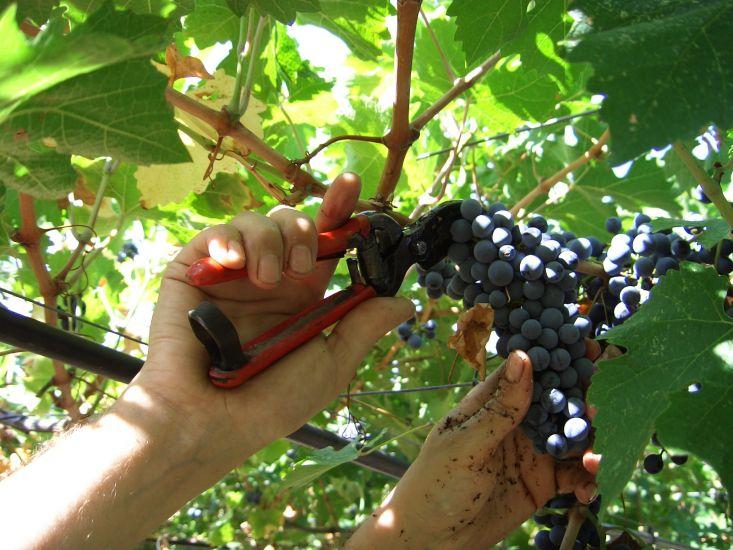 La vendemmia dele uve per la produziione di vino biologico