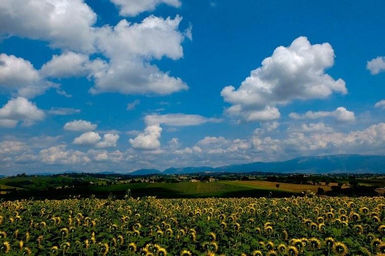 Campo di girasoli Marche
