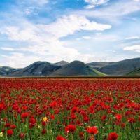 fiori rossi paesaggio