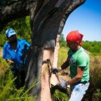 Decortica: nelle sugherete Amorim, in Portogallo inizia la stagione