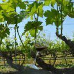 Conti Zecca, tra i 100 vini più amati (e venduti) d'Italia