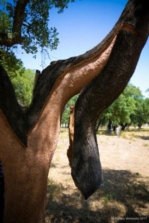 corteccia di sughero parzialmente decorticata, Amorim Portogallo