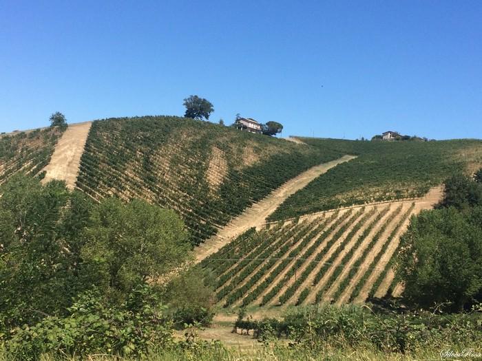 colline e vigne di Montecarotto, Marche