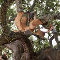 Amorim: tempo di decortica nelle foreste di querce da sughero portoghesi