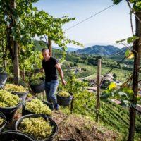 Vendemmia 2020: Col Vetoraz fa il punto sull'annata