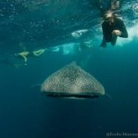 Nuotare con gli squali balena tra il Mar Rosso e l'Oceano Indiano
