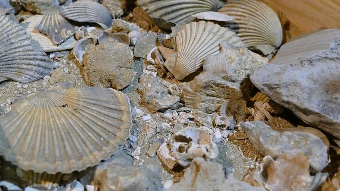 fossili del roero