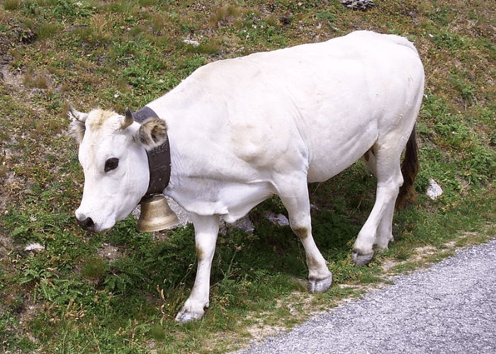 Razza bovina piemontese
