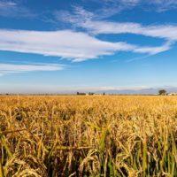 Il riso Baldo Riserva di RisoTesta