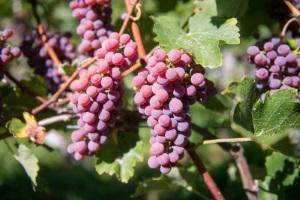 vitigni Piwi Alto Adige